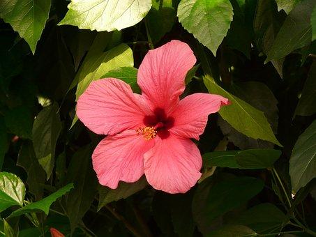 Hibiscus, Flower, Chinese Rose Eibisch, Blossom, Bloom