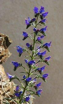 ο, Common Bugloss, Foxglove, Blue Grass, Cow Tongue
