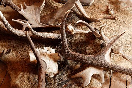 Animal, Antler, Antlers, Bone, Brown, Decoration, Deer