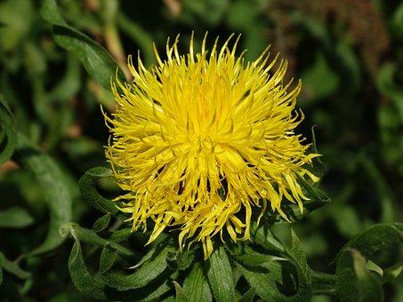 Yellow Cornflower, Centaurea Macrocephala, Flower
