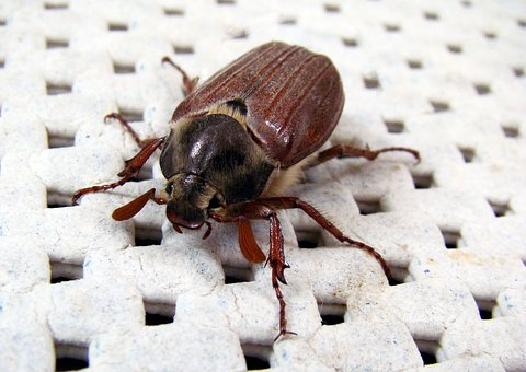 Melolontha, Beetle, Animals, Cockchafer, May Bug
