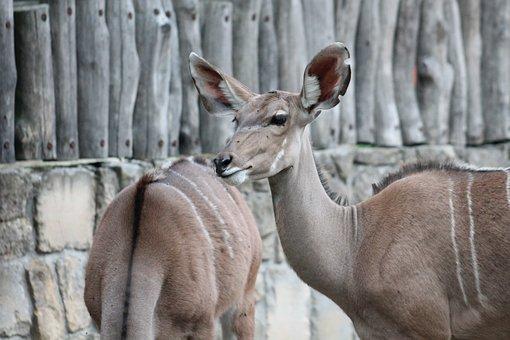 Zoo, Safari, Dvur Kralove Nad Labem, Wildebeest
