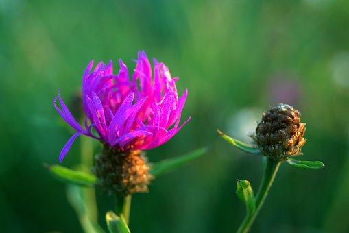 Cornflower, Bluebottle, Blue, Nature, Flower, Field
