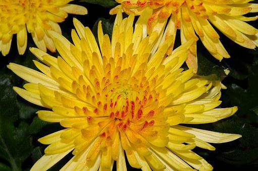 Chrysanthemums, Blossom, Bloom, Flower, Plant, Yellow