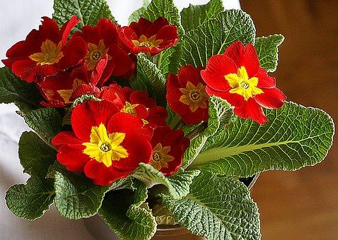Primrose, Flower, Rozkwitnięty, Red, Yellow, Nature