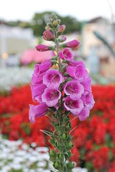 Foxglove, Flower, Digitalis, Nature, Purple, Plant