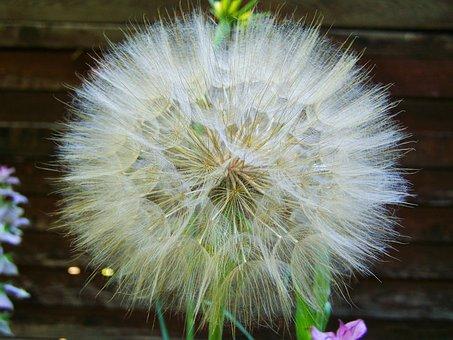 Core Flower Save, Flower Seeds, Chamois Flower Seeds