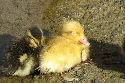 Duckling, Sleep, Duck, Fluffy, Baby, Little, Rest