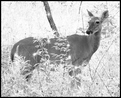 Deer, Woods, Nature, Animal, Wildlife, Mammal, Forest