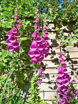 English Country Garden, Foxgloves, Purple, Flowers