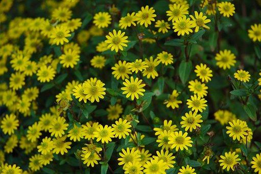 Hussar Buttons, Flower, Hussar Button, Garden, Plant