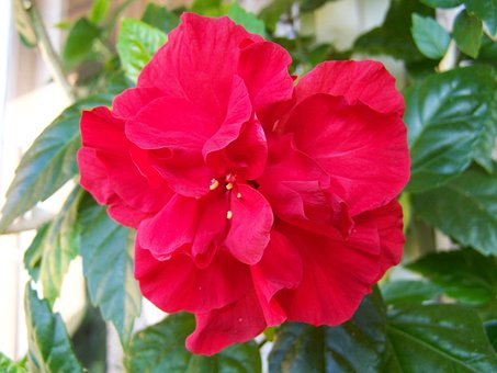 Hibiscus, Chinese Hollyhock, Room Plant