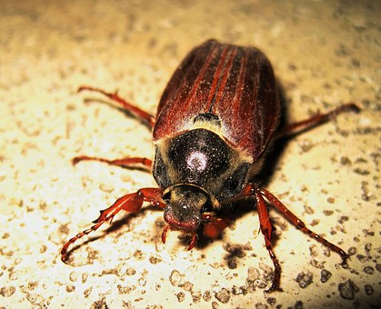 Maikäfer, June, Time Of Year, Insect, Beetle, Brown