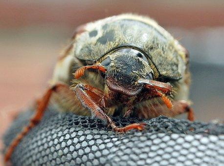 Cockchafer, Beetle, Macro, Female, Nature, Face