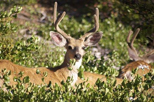 Deer, Bucks, Stag, Wildlife, Mammal, Male, Whitetail