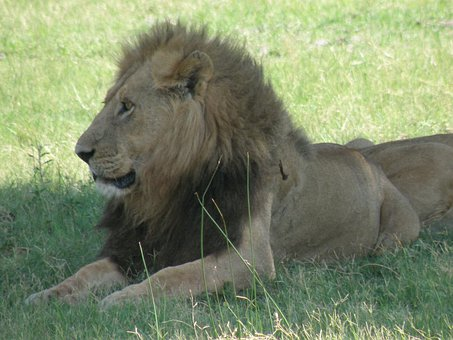 Lion, Wildlife, Male, Animal, Wild, Cat, Mammal