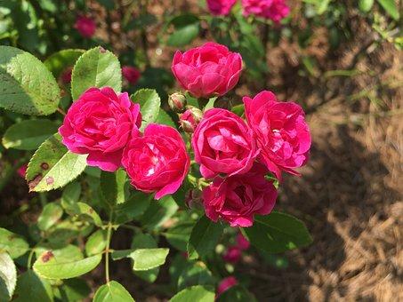 Flower, Rose, Miniature Rose, Garden