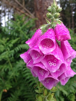 Pink, Foxgloves, Dew, Water, Plant, Nature, Forest