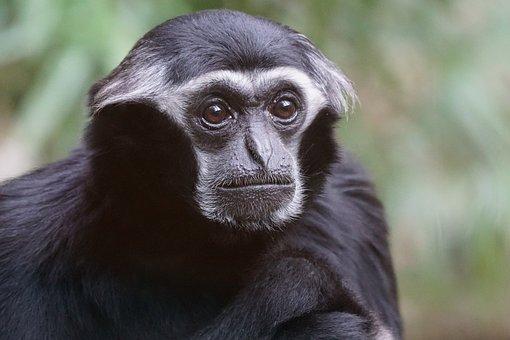 Animals, Primate, Monkey, Old World Monkey, Gibbon
