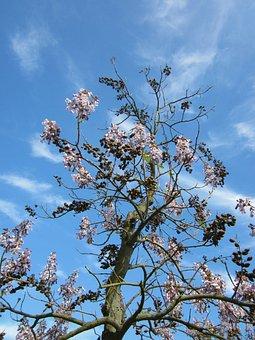Paulownia Tomentosa, Empress Tree, Princess Tree
