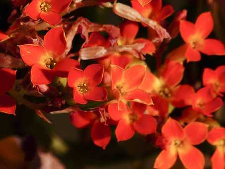 Tiny, Red, Yellow, Blossom, Room Plant, Cluster, Bunch