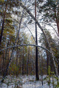 Snow, Autumn, Forest, Trees, Nature, Winter, Branch