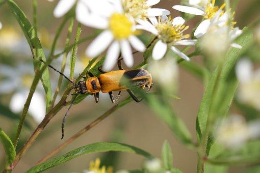 Soldier Beetle, Beetle, Flowers