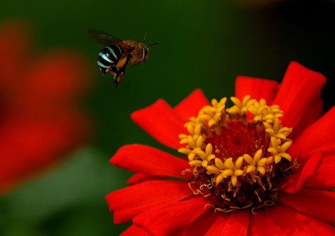 Honey Bee, Flower, Zinnia, Bee, Insect, Flying
