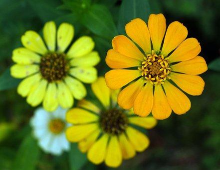 Zinnias, Flowers, Garden, Petals, Zinnia Petals, Bloom