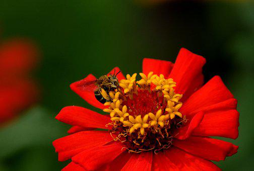 Zinnia, Flower, Honey Bee, Bee, Insect, Pollination
