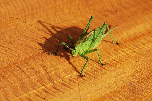 Insect, Grasshopper, Green, Mantodea, Nature, Animal