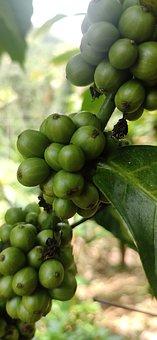 Coffee, Fruits, Plant, Green Fruits, Coffee Bean