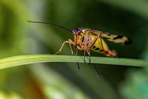 Insect, Scorpionfly, Entomology, Macro Photography