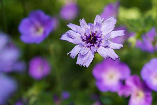 Zinnia, Flower, Purple Flower, Purple Petals, Petals