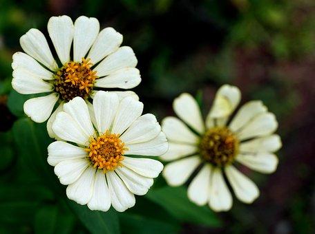 Zinnias, Flowers, White Flowers, Petals, White Petals