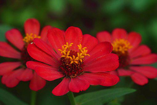 Zinnias, Flowers, Red Flowers, Petals, Red Petals