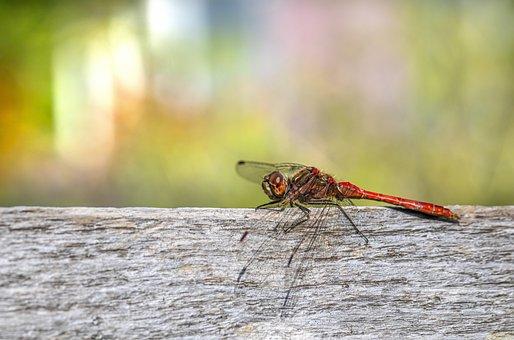 Insect, Dragonfly, Entomology, Macro, Wings, Odonata