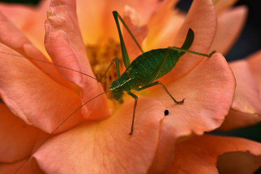 Insect, Grasshopper, Flower, Mantodea, Green, Nature