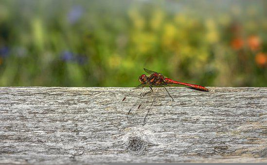 Insect, Dragonfly, Entomology, Species, Macro