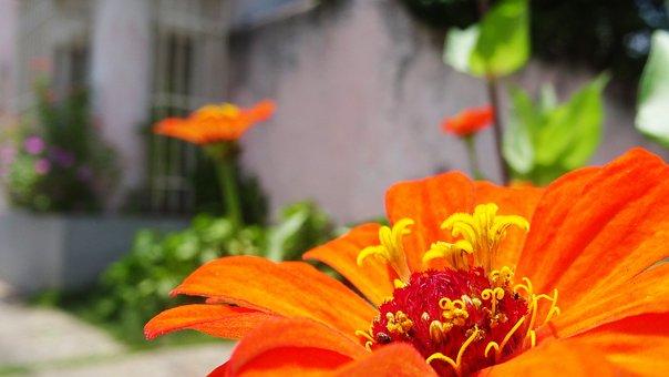 Zinnia, Flower, Orange Flower, Petals, Orange Petals