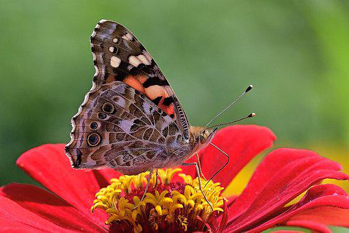 Butterfly, Vanessa Cardui, Flower, Pollinate
