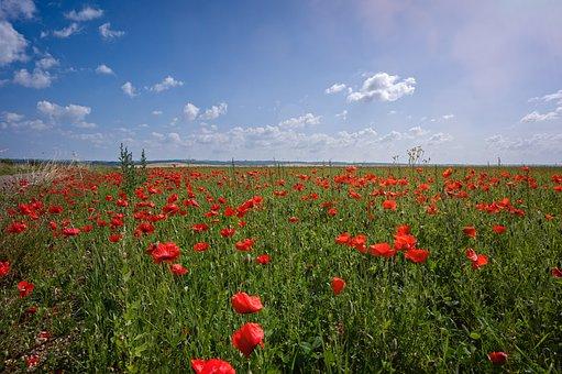 Poppy, Flowers, Field, Corn Poppy, Red Flowers, Bloom