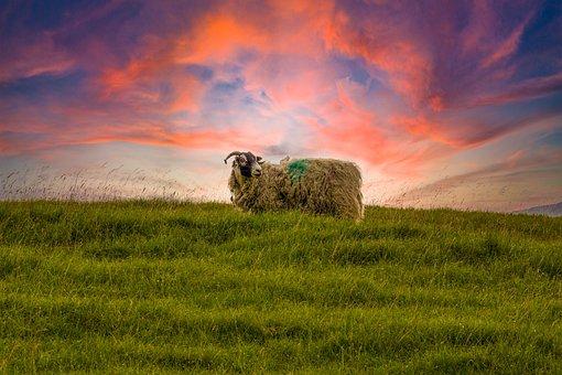 Sheep, Animal, Mammal, Pasture, Livestock, Species
