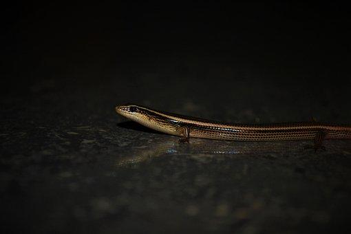 Lizard, Reptile, Plestiodon, Species, Macro Photography