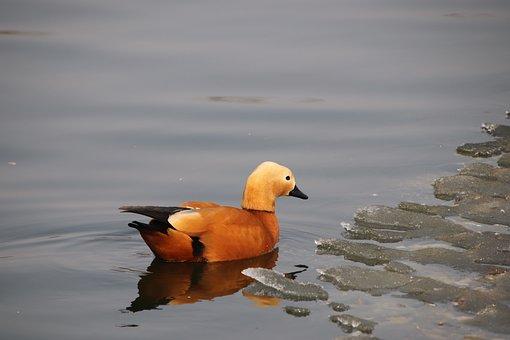 Ruddy Shelduck, Bird, Pond, Duck, Waterfowl, Water Bird