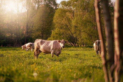 Cows, Cattles, Animals, Livestock, Farm, Mammals