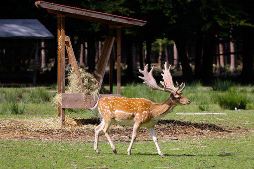 Fallow Deer, Deer, Animal, Antlers, Wildlife, Mammal