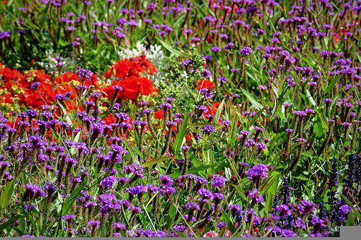 Verbena, Poppy, Flowers, Red Poppy, Purple Flowers