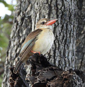 Brown-hooded Kingfisher, Bird, Perched, Animal
