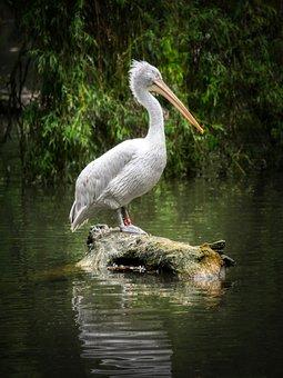 Pelican, Water Bird, Bird, Animal, Plumage, Nature